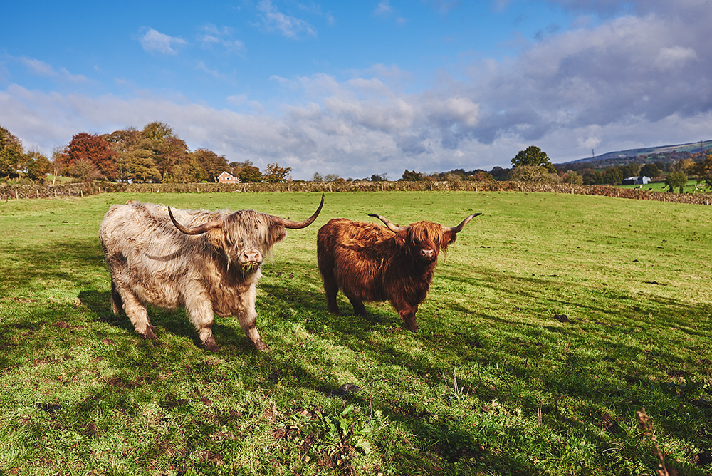 The Highland cattle at The Ashes Barns Wedding Venue in Staffordshire